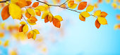 Colorful beech leaves in autumn.