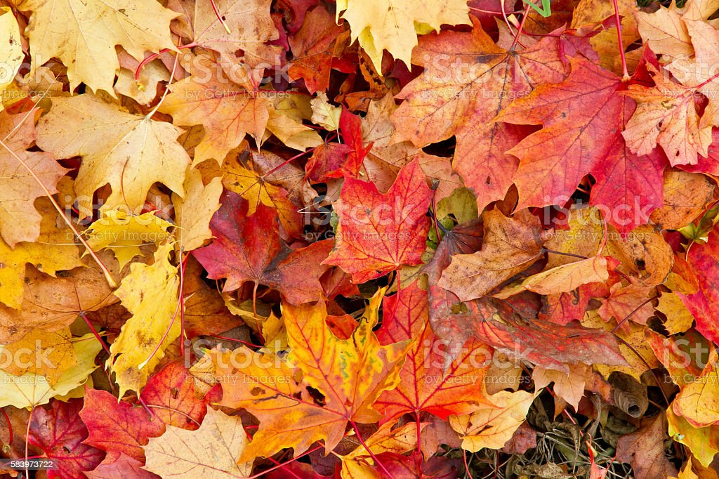 Colorful Autumn leaves Background with colorful maple leaves Autumn Stock Photo