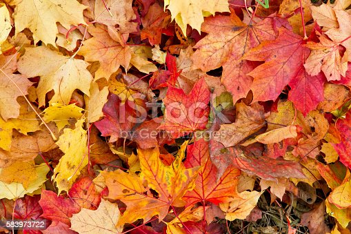 Background with colorful maple leaves