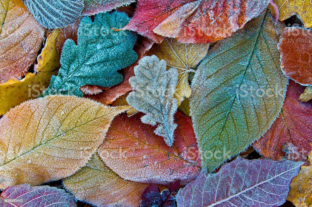 Colorful autumn leaves with frost. Frosty autumn leaves background