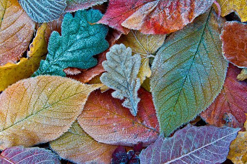 istock Colorful autumn leaves with frost. Frosty autumn leaves background 626330442