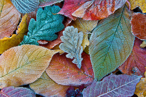 Colorful autumn leaves with frost. Frosty autumn leaves background stock photo