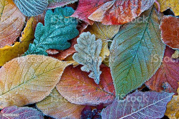 Photo of Colorful autumn leaves with frost. Frosty autumn leaves background