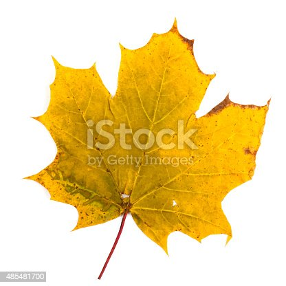 istock colorful autumn maple leaf isolated on white background 485481700