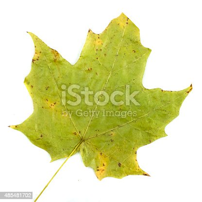 istock colorful autumn maple leaf isolated on white background 485481702