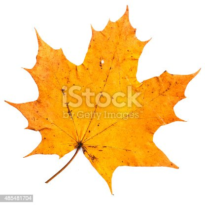 istock colorful autumn maple leaf isolated on white background 485481704