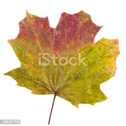istock colorful autumn maple leaf isolated on white background 485481706