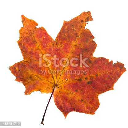 istock colorful autumn maple leaf isolated on white background 485481712