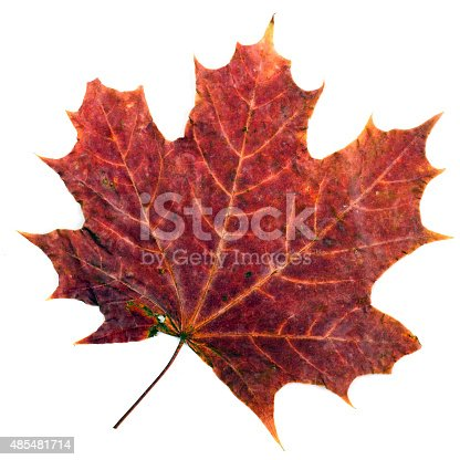 istock colorful autumn maple leaf isolated on white background 485481714