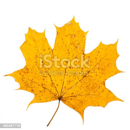 istock colorful autumn maple leaf isolated on white background 485481716