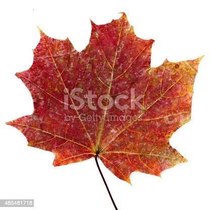 istock colorful autumn maple leaf isolated on white background 485481718