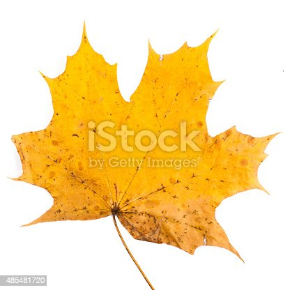 istock colorful autumn maple leaf isolated on white background 485481720