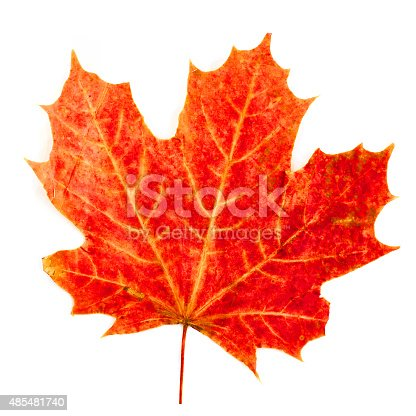 istock colorful autumn maple leaf isolated on white background 485481740