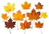 Colorful autumn maple leaves on white background. Warm colors of autumn.