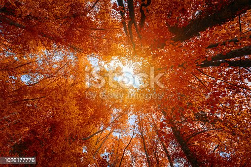 Colorful autumn treetops in fall forest with blue sky and sun shining though trees. Sky and sunshine through the autumn tree branches from below. Red autumn trees from beneath. Autumn foliage