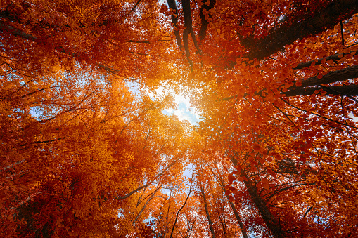 istock Colorful autumn treetops in fall forest with blue sky and sun shining though trees. Sky and sunshine through the autumn tree branches from below. Red autumn trees from beneath. Autumn foliage 1026177776