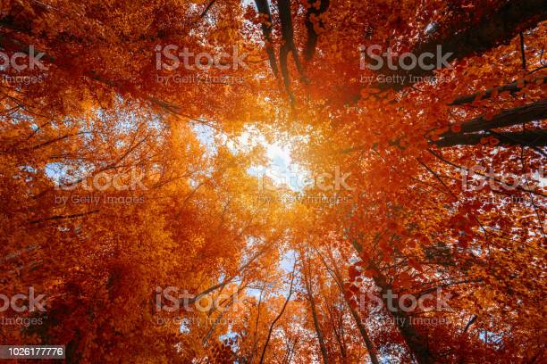 Photo of Colorful autumn treetops in fall forest with blue sky and sun shining though trees. Sky and sunshine through the autumn tree branches from below. Red autumn trees from beneath. Autumn foliage