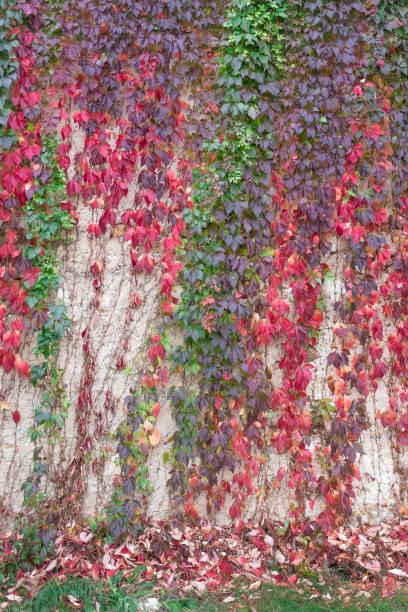 Colorful autumn Virginia Creeper. Wild grape background. Red and orange autumn leaves on wall stock photo