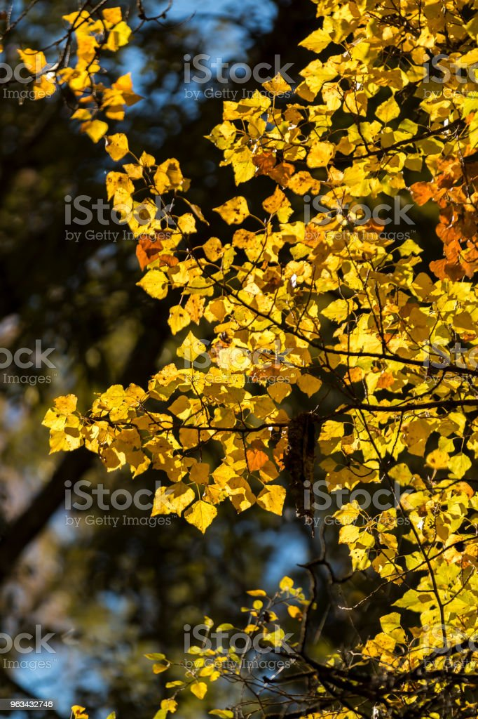 Colorful autumnal leaves in sunlight - Zbiór zdjęć royalty-free (Bez ludzi)