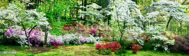 istock Colorful azalea garden and flowering dogwoods 155141425