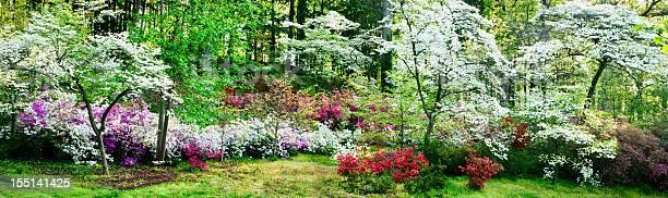 Photo of Colorful azalea garden and flowering dogwoods