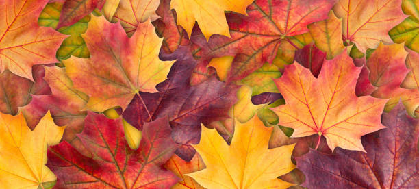 colorful background of autumn maple tree leaves background close up. multicolor maple leaves autumn background. high quality resolution picture - autumn foto e immagini stock