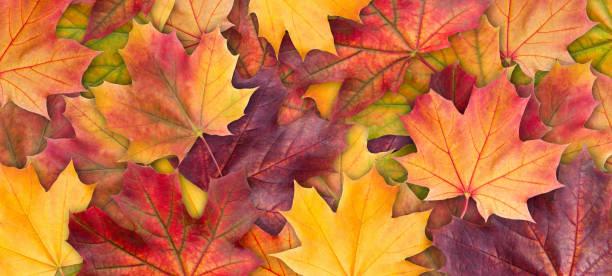 fondo colorido del otoño fondo de hojas de árbol de arce de cerca. fondo otoño las hojas de arce multicolor. resolución de imagen de alta calidad - fall fotografías e imágenes de stock