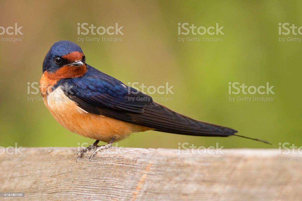 Colorful barn swallow bird with brilliant blue and purple feathers stock photo