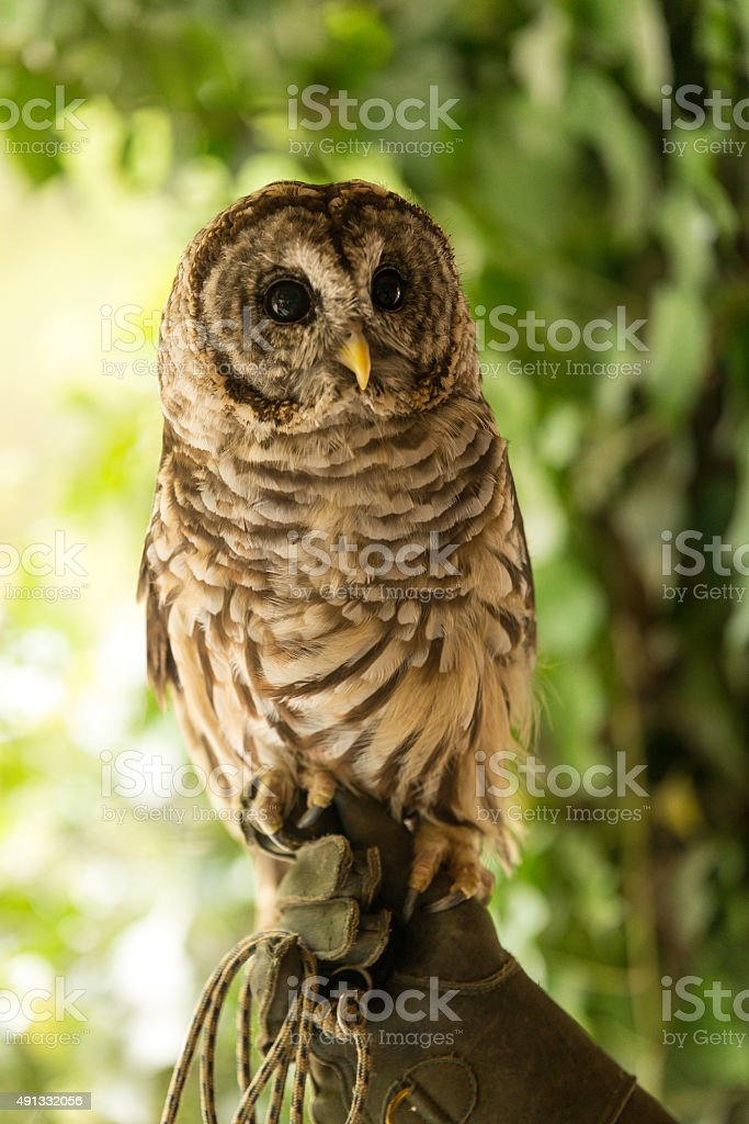 Colorful Barred Owl 2 royalty-free stock photo