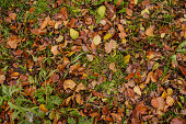 Autumn leaf texture. Colored falling leafs. Autumn leaves lying on the ground.