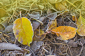 Sunny autumn background. Autumn leaf texture. Colored falling leafs. Autumn leaves lying on the ground covered by snow and ice