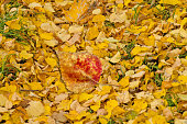 Sunny autumn background. Autumn leaf texture. Colored falling leafs. Autumn leaves lying on the ground.