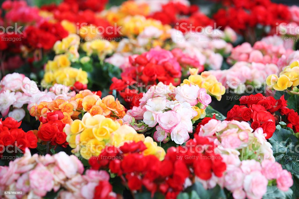colorful begonia flower as background.​​​ foto