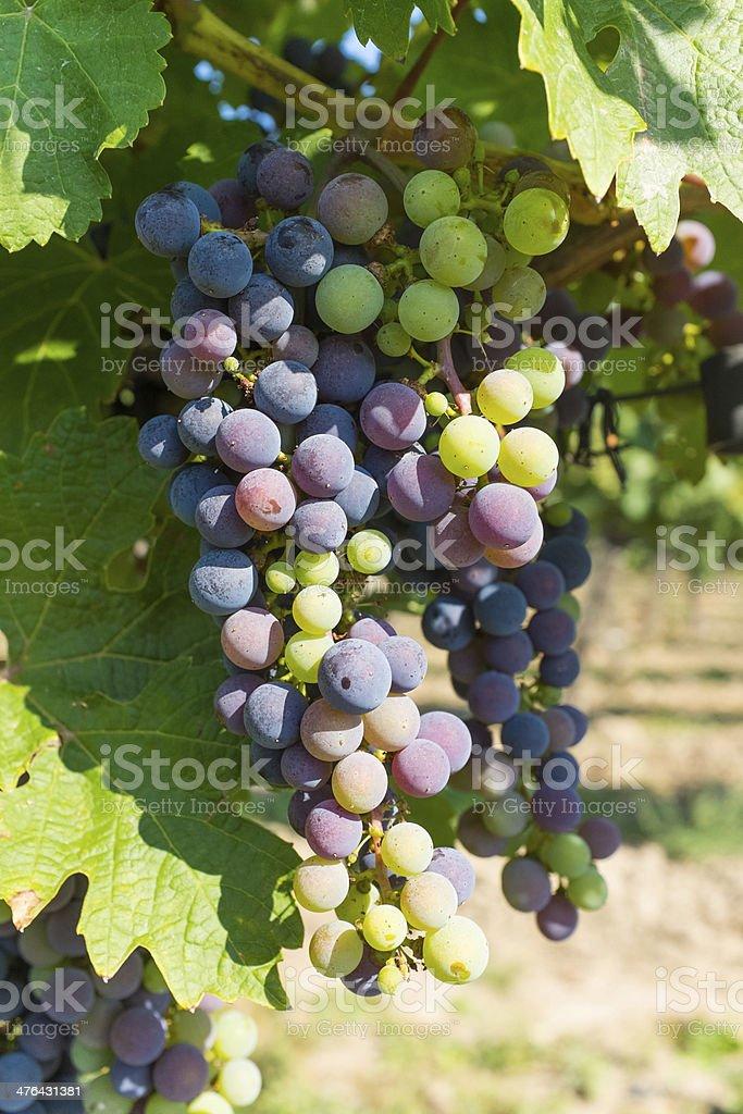 Colorful Berries in Vineyard royalty-free stock photo