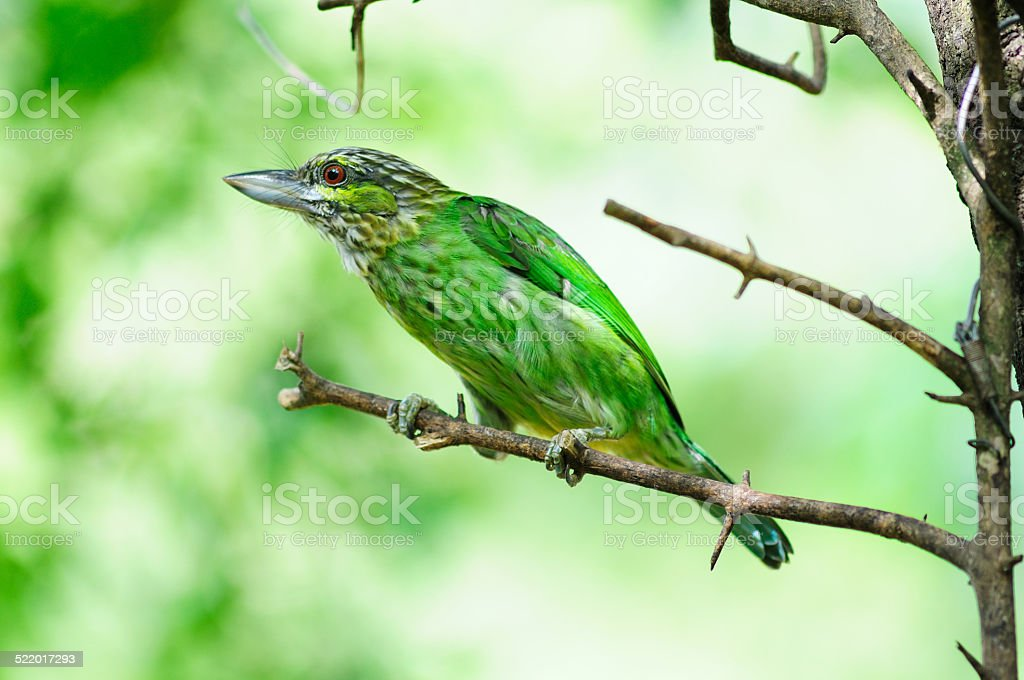 Colorful Bird Green (Green-eared Barbet) stock photo