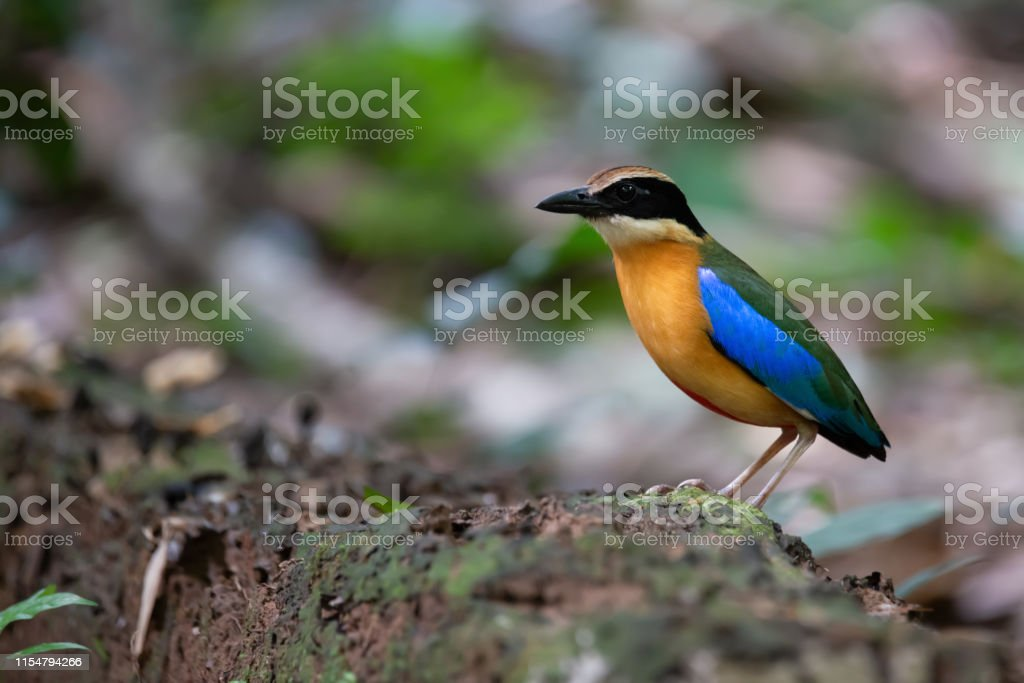 Blue winged Pitta standing on the ground in the jungle, Kaeng Krachan...