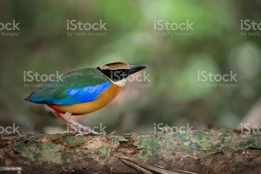 Blue winged Pitta standing on the log in the jungle, Kaeng Krachan...