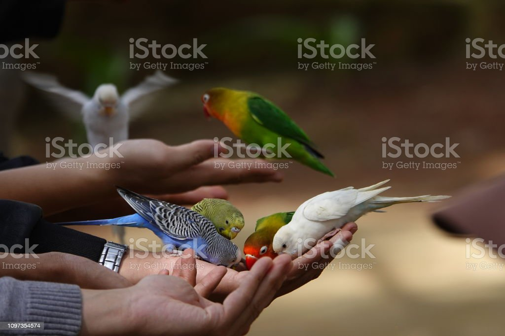 Colorful birds agapornis parrot and budgerigar Birdwatching with multi colors birds agapornis parrot and budgerigar having sunbath outdoor with beautiful weather Animal Stock Photo
