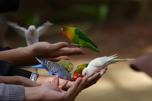 Colorful Birds Agapornis Parrot And Budgerigar Stock Photo - Download Image Now