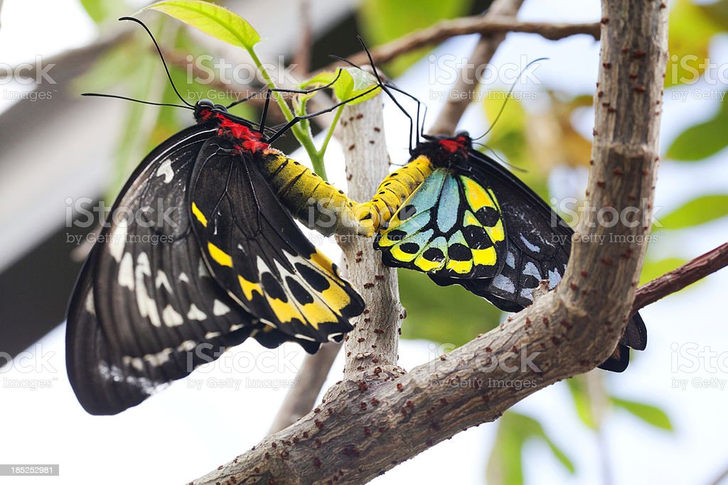 colorful birdwing butterfles mating (Ornithoptera priamus) stock photo