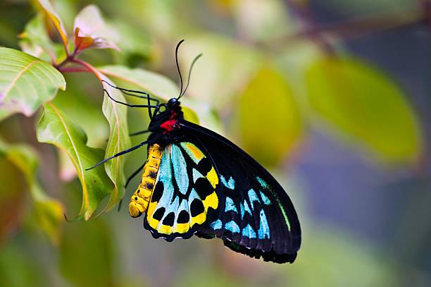 colorato ornithoptera (ornithoptera priamus - farfalla ramo foto e immagini stock