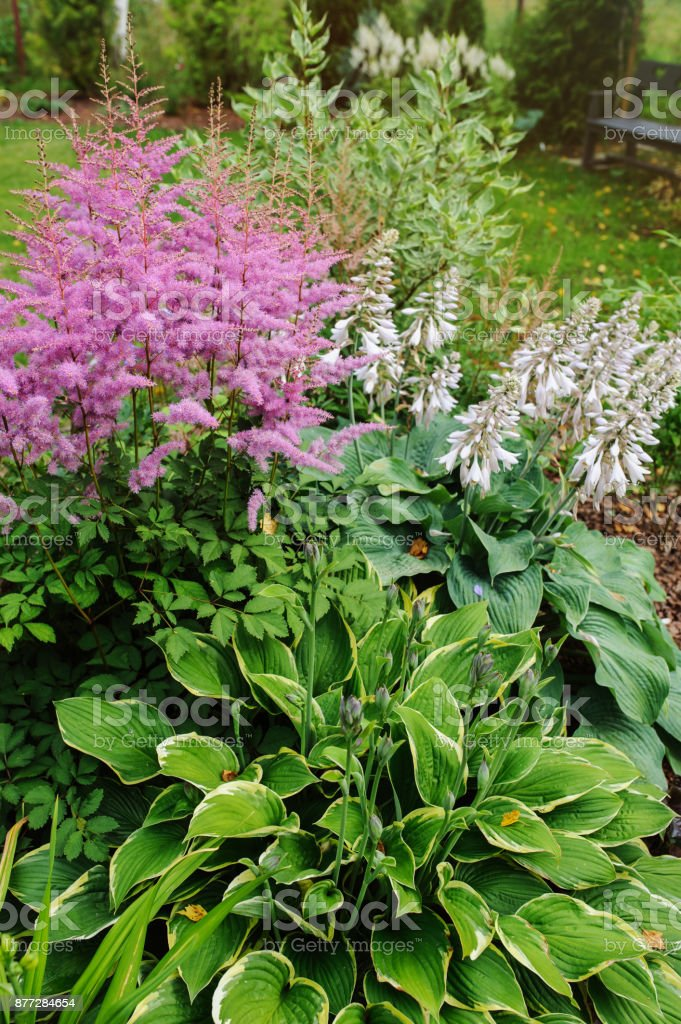 colorful blooming astilbe in summer garden in mixed border with hostas and cornus shrubs stock photo