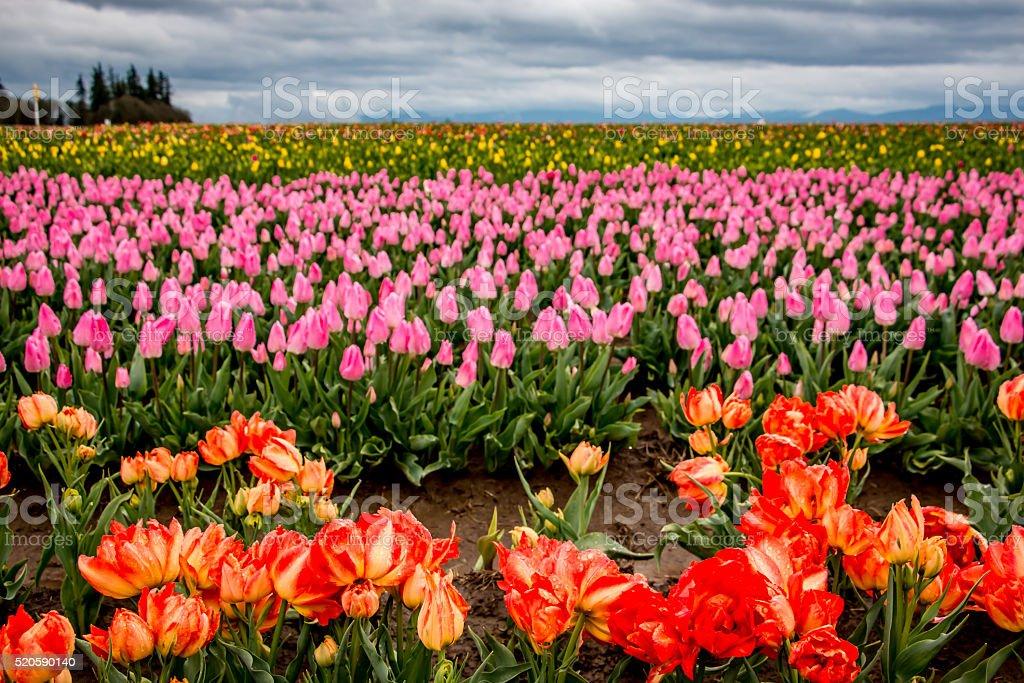 Colorful Blooming Tulips Portland Oregon Farm Fields Spring Flowers