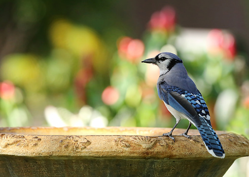 istock Colorful blue jay 966319582