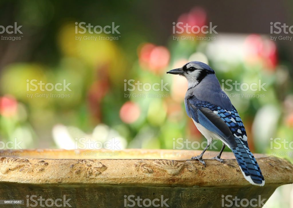 Colorful blue jay stock photo
