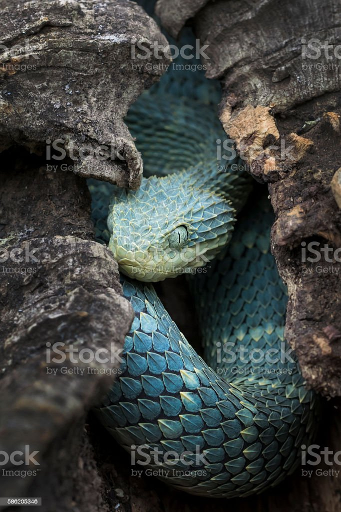Colorful Blue Venomous Bush Viper Snake in Hollow Log stock photo
