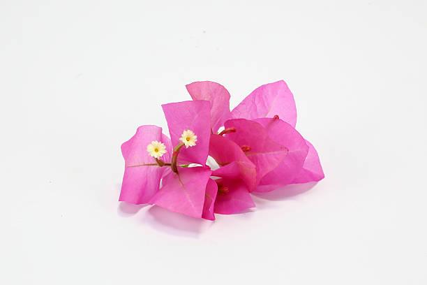 Colorida flor buganvilia - foto de stock