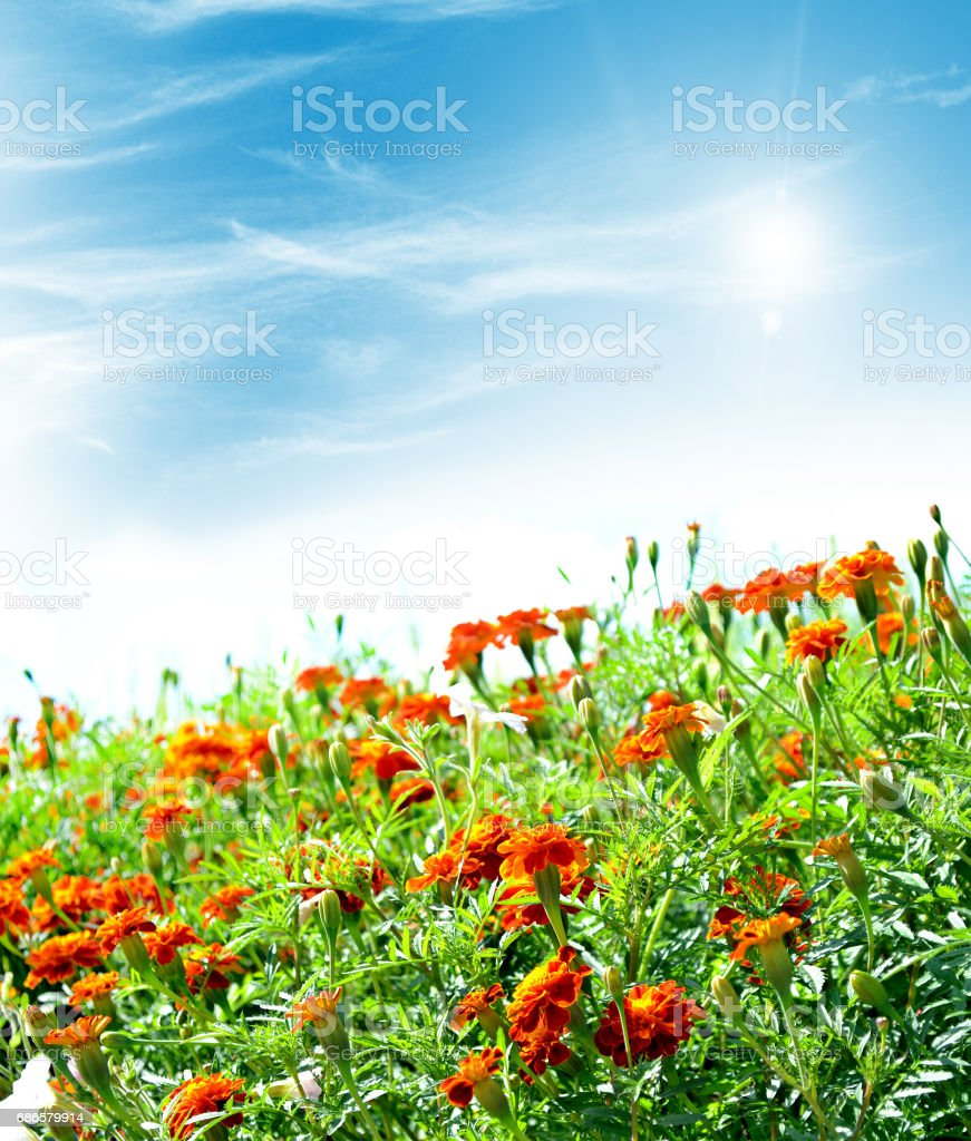 Colorful bright flowers marigold royalty-free stock photo
