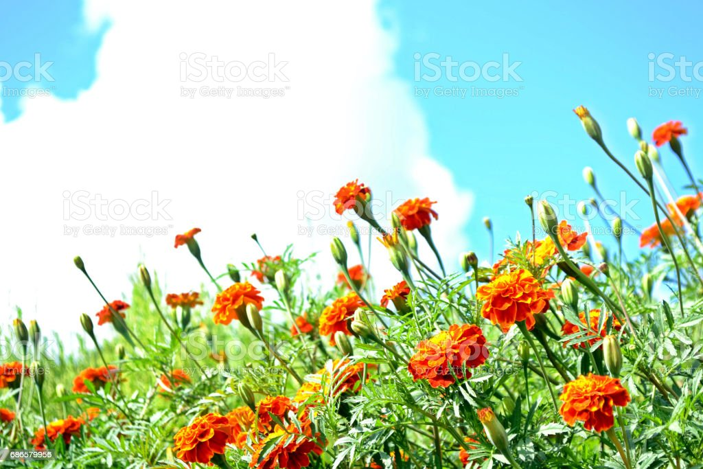 Colorful bright flowers marigold foto stock royalty-free