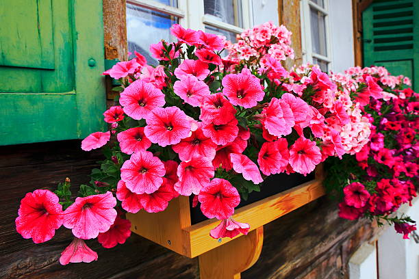 Colorful Bright flowers, rustic balcony flowerbed, Interlaken, Switzerland Colorful Bright flowers, rustic balcony, Interlaken, Switzerland primula stock pictures, royalty-free photos & images